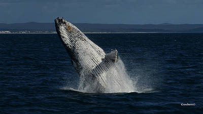 Photograph - Humpback Whale Breaching 17 Image 2 Of 4 by Gary Crockett
