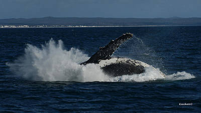 Photograph - Humpback Whale Breaching 17 Image 3 Of 4 by Gary Crockett