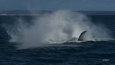 Photograph - Humpback Whale Breaching 17 Image 4 Of 4 by Gary Crockett