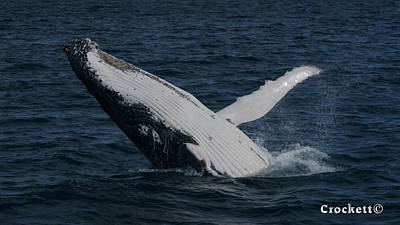 Photograph - Humpback Whale Breaching 19 Image 1 Of 1 by Gary Crockett