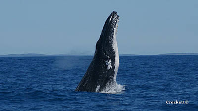 Photograph - Humpback Whale Breaching 4 Image 1 Of 3 by Gary Crockett