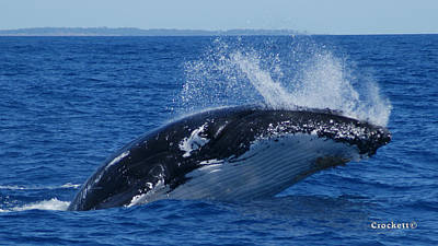 Photograph - Humpback Whale Breaching 5 Image 1 Of 1 by Gary Crockett
