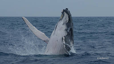 Photograph - Humpback Whale Breaching 6 Image 1 Of 1 by Gary Crockett