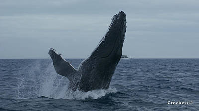 Photograph - Humpback Whale Breaching 7 Image 1 Of 4 by Gary Crockett