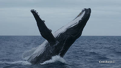 Photograph - Humpback Whale Breaching 7 Image 2 Of 4 by Gary Crockett