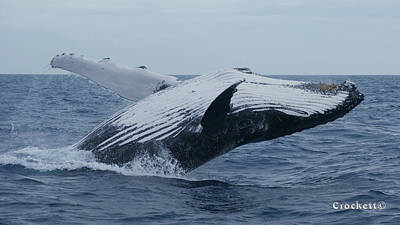 Photograph - Humpback Whale Breaching 7 Image 3 Of 4 by Gary Crockett