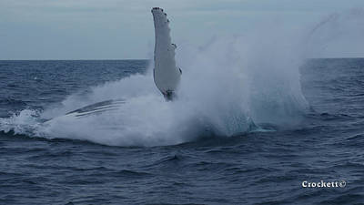 Photograph - Humpback Whale Breaching 7 Image 4 Of 4 by Gary Crockett