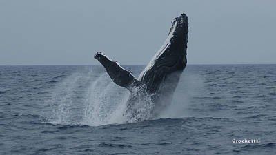 Photograph - Humpback Whale Breaching 9 Image 1 Of 3 by Gary Crockett