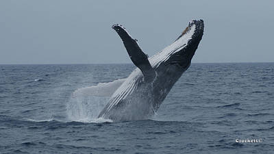 Photograph - Humpback Whale Breaching 9 Image 2 Of 3 by Gary Crockett