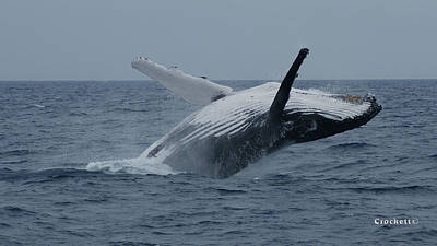 Photograph - Humpback Whale Breaching 9 Image 3 Of 3 by Gary Crockett