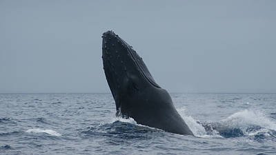 Print featuring the photograph Humpback Whale Breaching by Gary Crockett