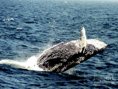 Photograph - Humpback Whale Breaching - Gloucester Mass. by Merton Allen