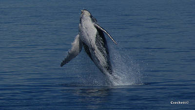 Photograph - Humpback Whale Calf Breaching Image 1 Of 4 by Gary Crockett