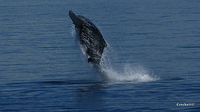 Photograph - Humpback Whale Calf Breaching Image 2 Of 4 by Gary Crockett