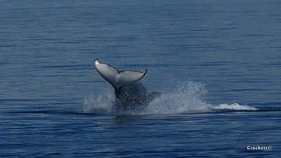 Photograph - Humpback Whale Calf Breaching Image 3 Of 4 by Gary Crockett