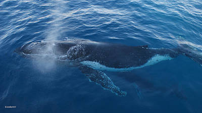 Photograph - Humpback Whale Calf Drinking Mothers Milk by Gary Crockett