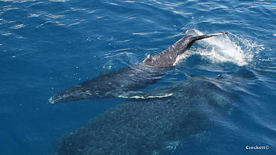 Photograph - Humpback Whale Calf Image 1 Of 1 by Gary Crockett