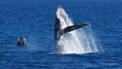 Photograph - Humpback Whale Double Breach Image 1 Of 3 by Gary Crockett