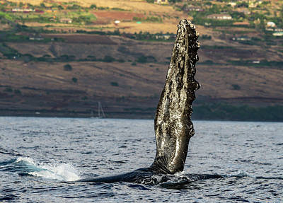 Humpback Whale Fin  Art Print by Puget Exposure