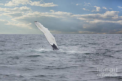 Photograph - Humpback Whale Fin Slapping by Nick Jene