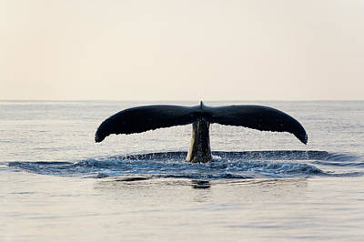 Clear Sky Photograph - Humpback Whale Fluke by M Sweet