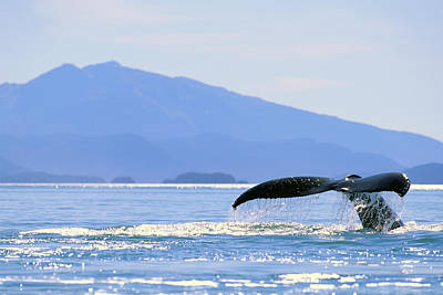 Sealife Art Photograph - Humpback Whale Flukes by John Hyde - Printscapes