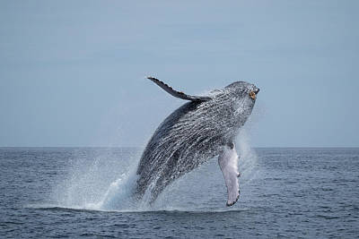 Photograph - Humpback Whale - Megaptera Novaeangliae, Breaching by Frankie Grant