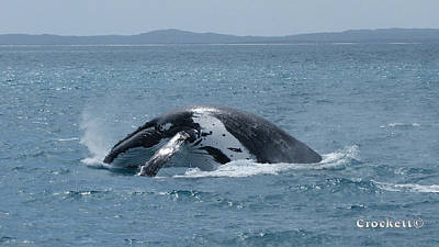 Photograph - Humpback Whale Shark Breaching 20 Image 4 Of 5 by Gary Crockett