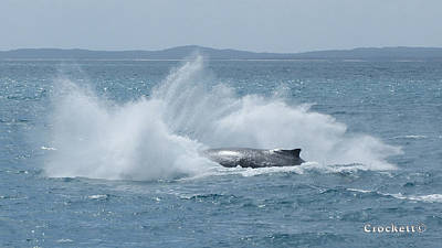 Photograph - Humpback Whale Shark Breaching 20 Image 5 Of 5 by Gary Crockett