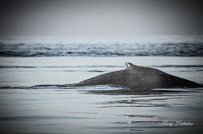 Photograph - Humpback Whale Surface by Roxy Hurtubise