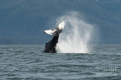 Photograph - Humpback Whale Tale by Loriannah Hespe