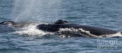 Photograph - Humpback Whales - Byron Bay by Karen Van Der Zijden