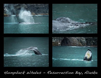 Photograph - Humpback Whales Collage by Belinda Greb