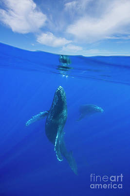 Photograph - Humpback Whales by David Olsen
