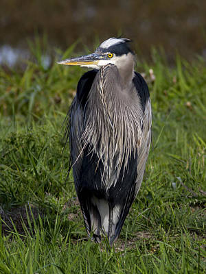 Photograph - Hunching Heron by Jean Noren