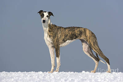 Sighthound Photograph - Hungarian Greyhound by Jean-Louis Klein & Marie-Luce Hubert