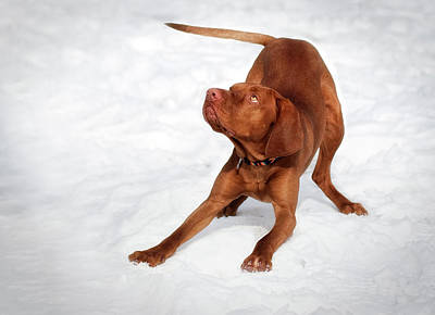 Wag Photograph - Hungarian Vizsla  by Chiemsee2016