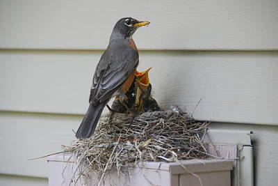 Photograph - Hungry Robins by Wanda Jesfield