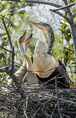 Photograph - Hungry Anhinga Chicks by William Bitman