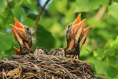 Photograph - Hungry Baby Robins by Joni Eskridge