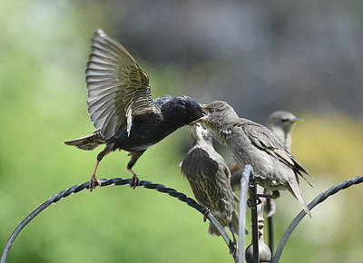 Hungry Baby Starlings Print by Simon Dack
