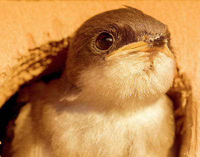 Photograph - Hungry Baby Swallow by Jean Noren