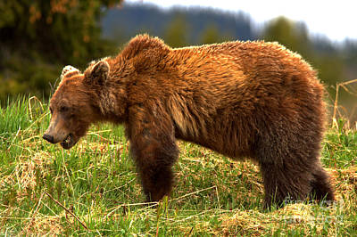 Photograph - Hungry Banff Grizzly Bear by Adam Jewell
