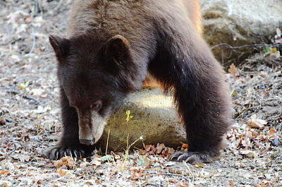 Photograph - Hungry Brown Bear by Debby Pueschel