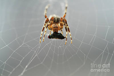 Photograph -  Hungry Cross Spider by Giovanni Malfitano