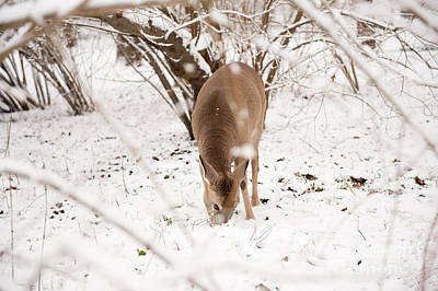 Mans Best Friend - Hungry doe eating in snow by Arletta Cwalina