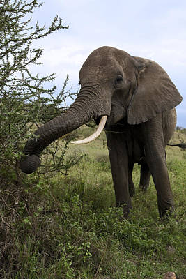 Loxodanta Photograph - Hungry Elephant by Sally Weigand