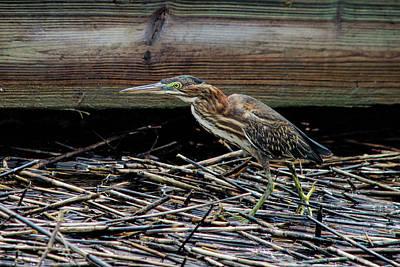 Photograph - Hungry Heron by Ed Waldrop