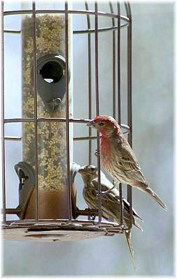 Digital Art - Hungry House Finches by Ellen Barron O'Reilly