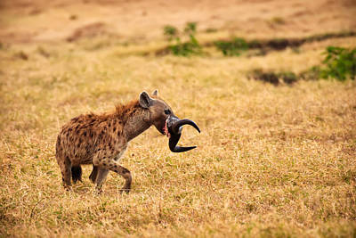 Photograph - Hungry Hyena by Adam Romanowicz